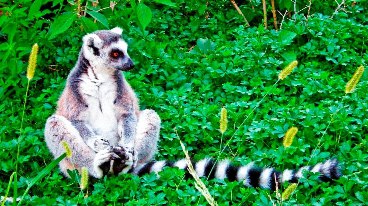 Lémurien, l'une des attractions touristiques de Madagascar